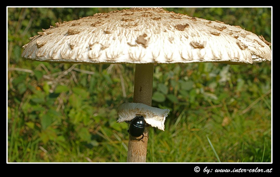speisepilz parasol 1 kulturset online kaufen startseite design bilder. Black Bedroom Furniture Sets. Home Design Ideas