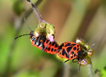 Wanzen, Heteroptera